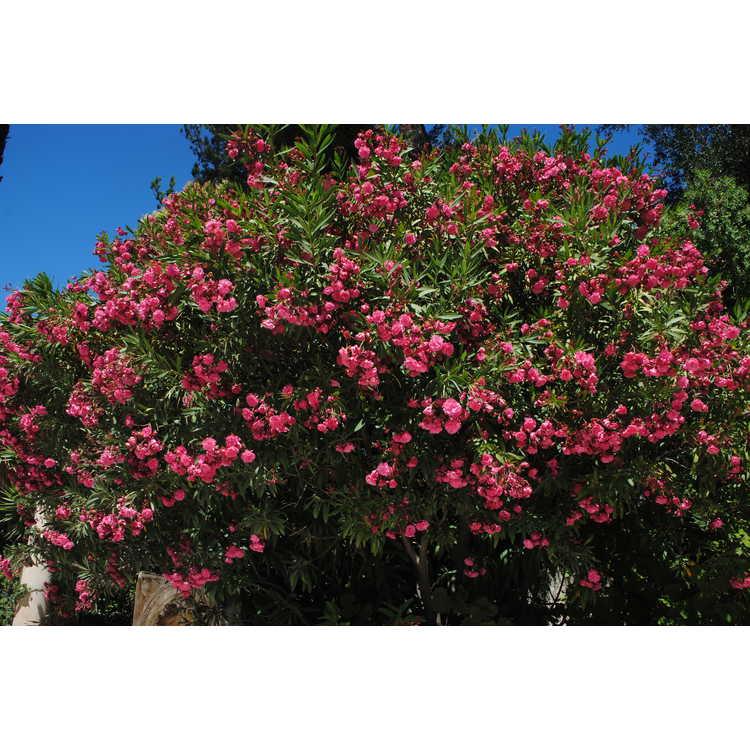 Nerium oleander - hardy oleander