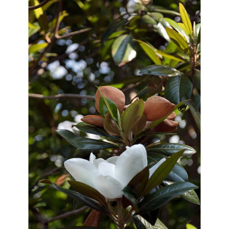Magnolia grandiflora 'Emerald Spire'