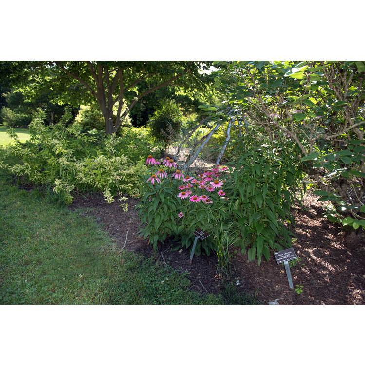 Echinacea 'Conevin' - Purple Fantasy hybrid coneflower
