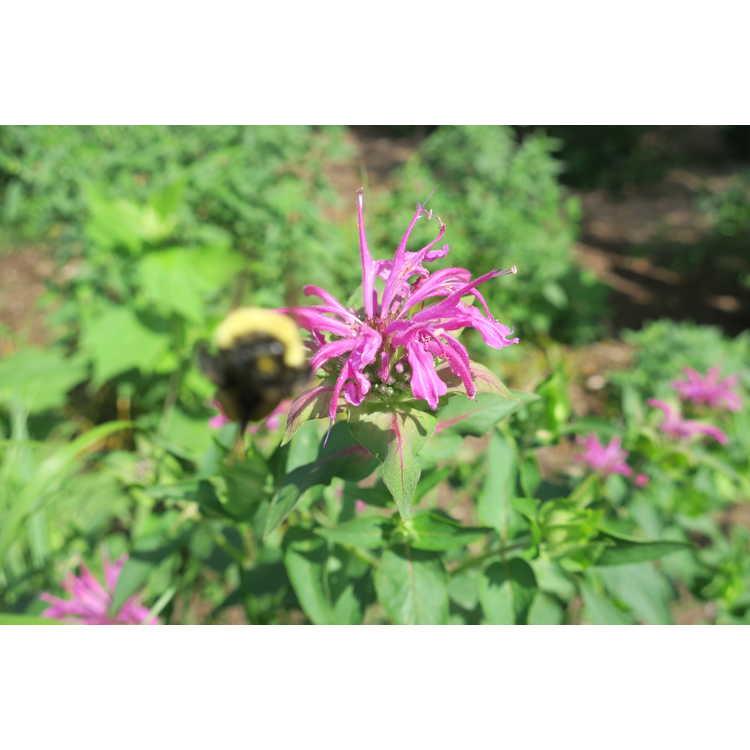 Monarda 'Violet Queen' - hybrid bee balm