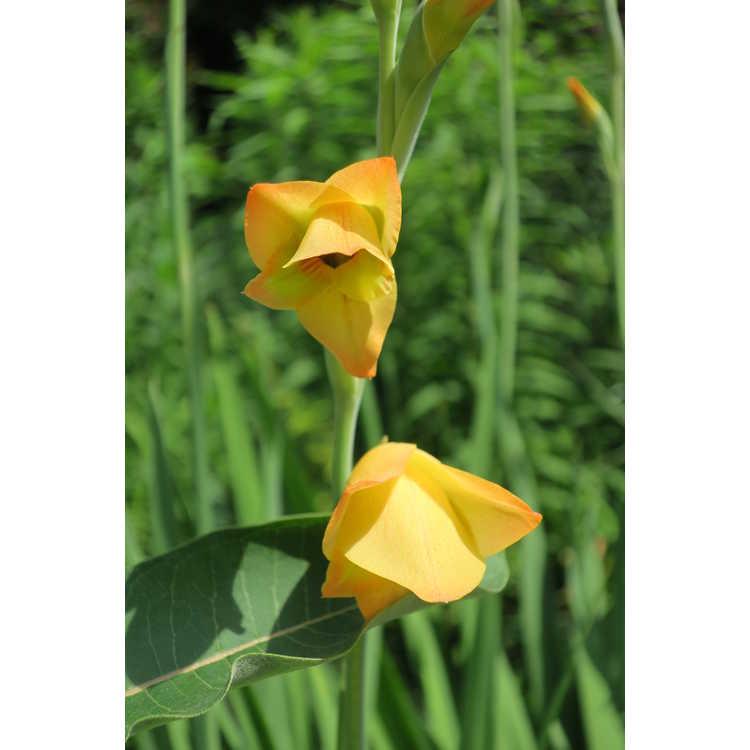 Gladiolus ×gandavensis - hybrid gladiolus