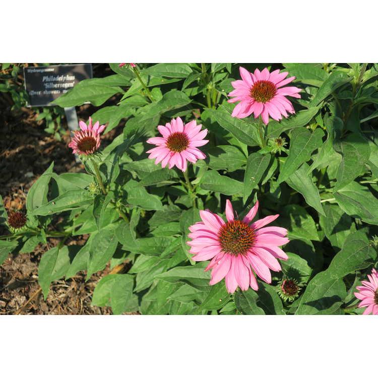 Echinacea 'Gemini Pink'