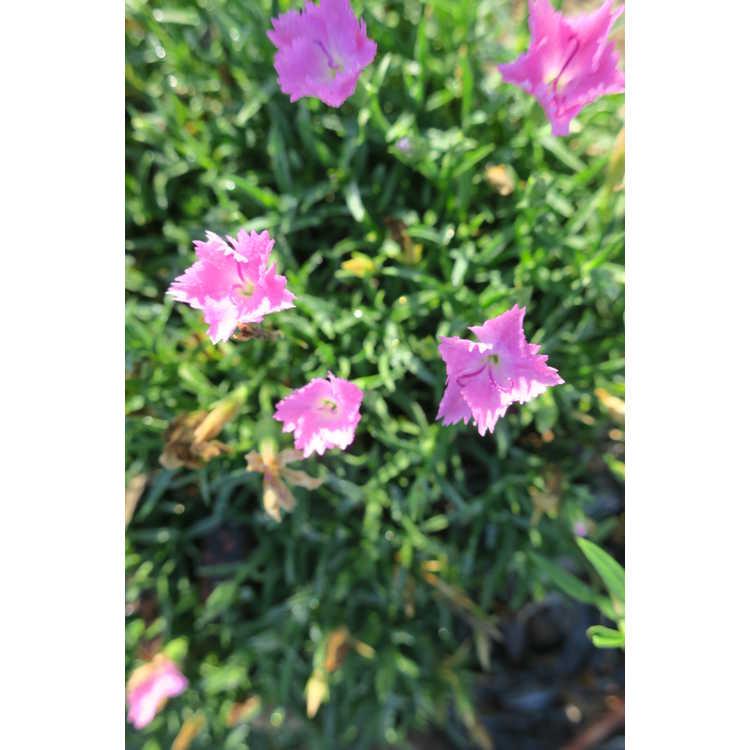 Dianthus speciosus 'Shishika-01' - Love Doctor garden pinks