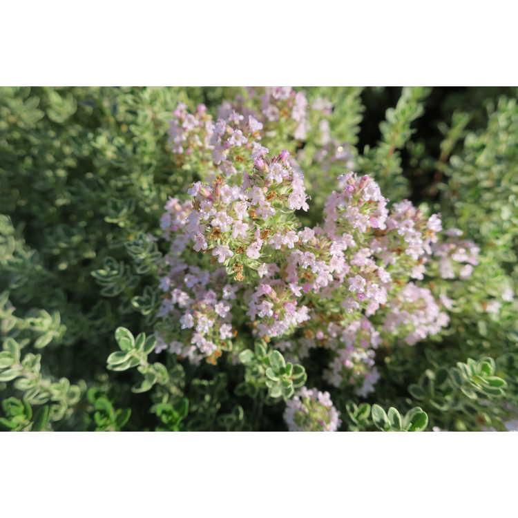 Thymus vulgaris 'Hi Ho Silver'