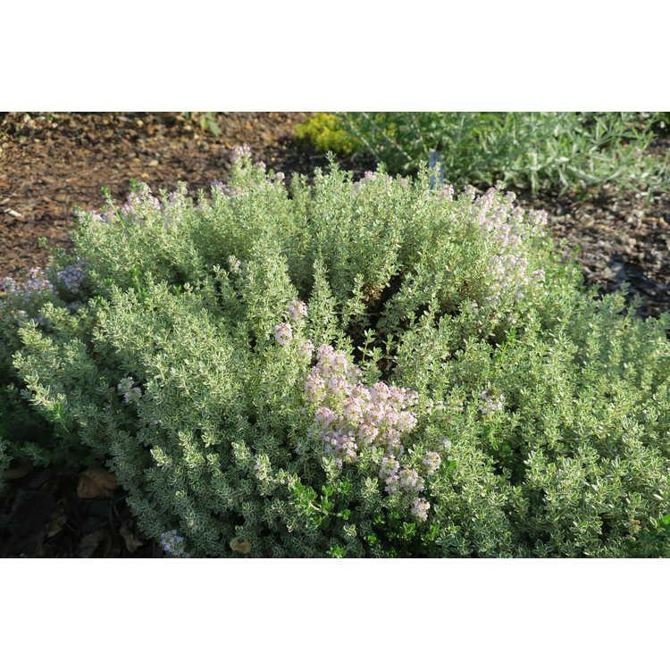 Thymus vulgaris Hi Ho Silver