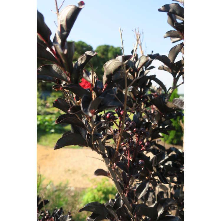 Lagerstroemia 'Ebony Embers' - Black Diamond Red Hot crepe myrtle