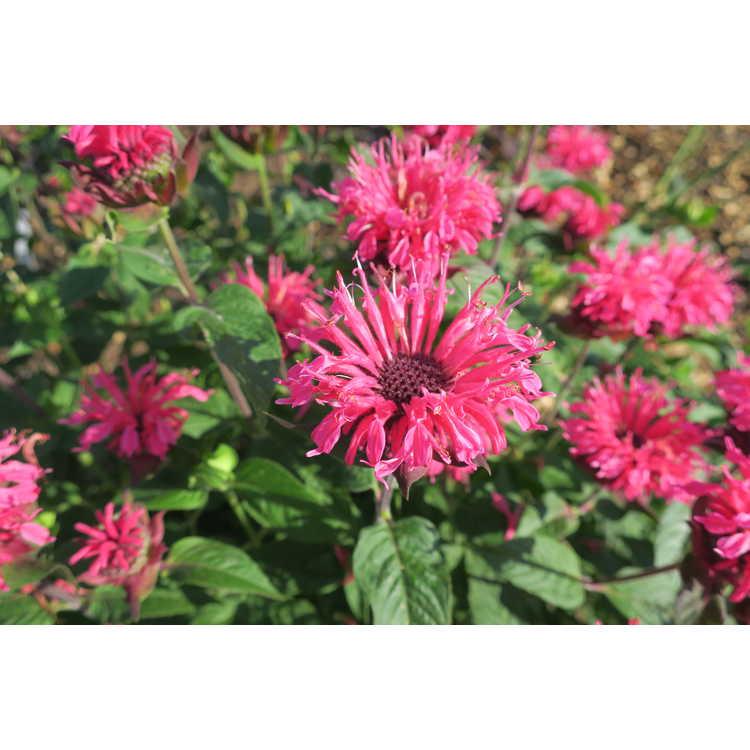 Monarda didyma 'Pink Lace' - compact beebalm