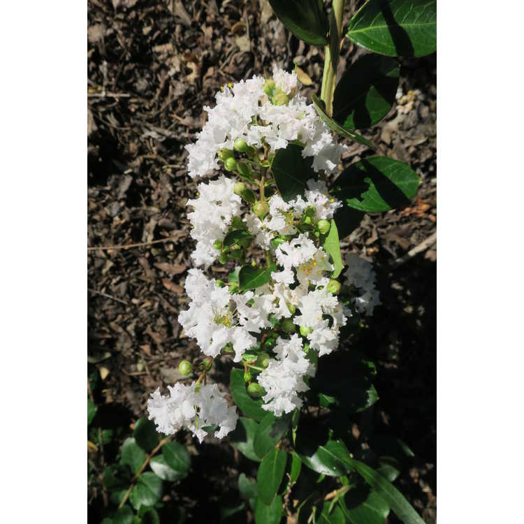 Lagerstroemia 'Jd900' - Early Bird White early flowering crepe myrtle