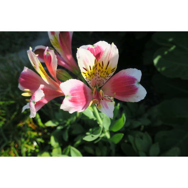 Alstroemeria ×hybrida 'Pas2052'