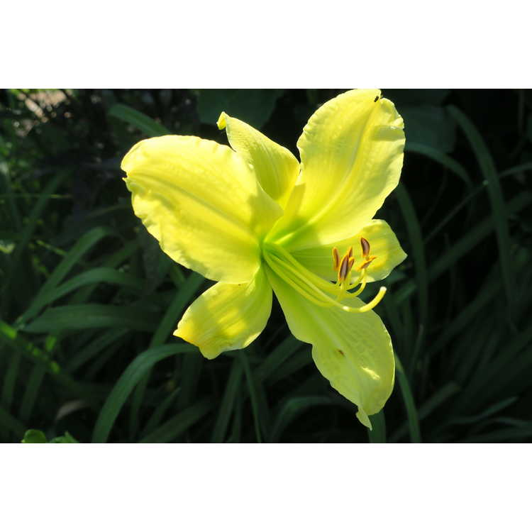 Hemerocallis 'Hyperion' - daylily