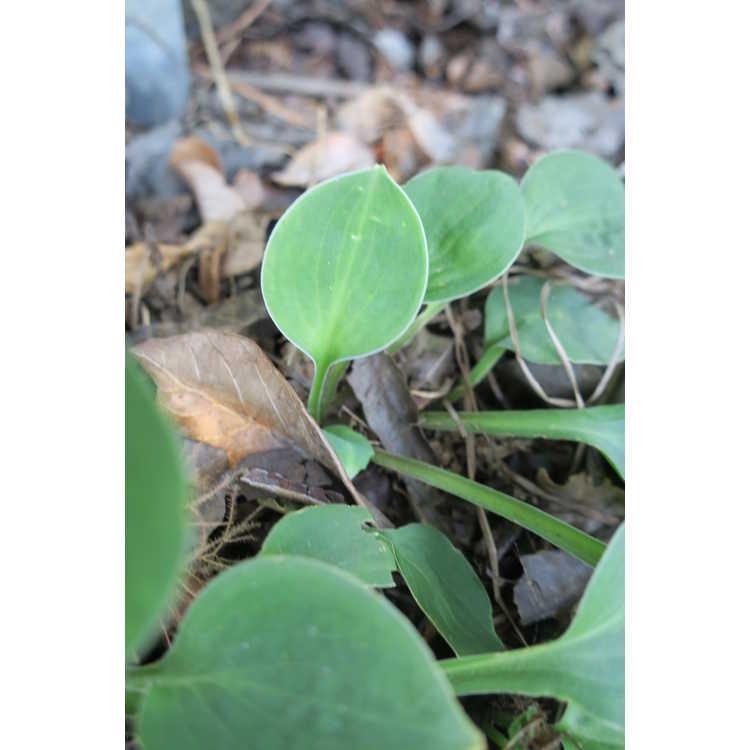 Hosta 'Green Mouse Ears'