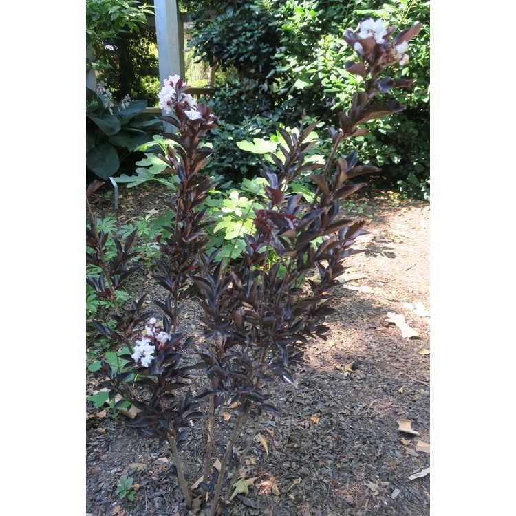 Lagerstroemia 'Ebony & Ivory' - purple-leaf crepe myrtle