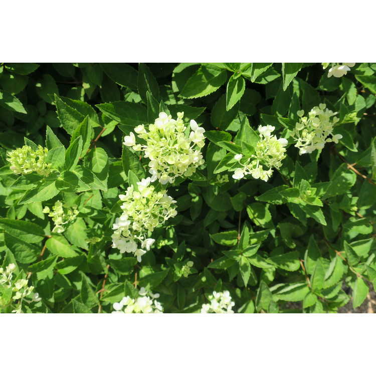 Hydrangea paniculata 'Bombshell' - dwarf panicled hydrangea