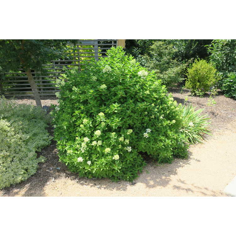 Hydrangea paniculata Bombshell