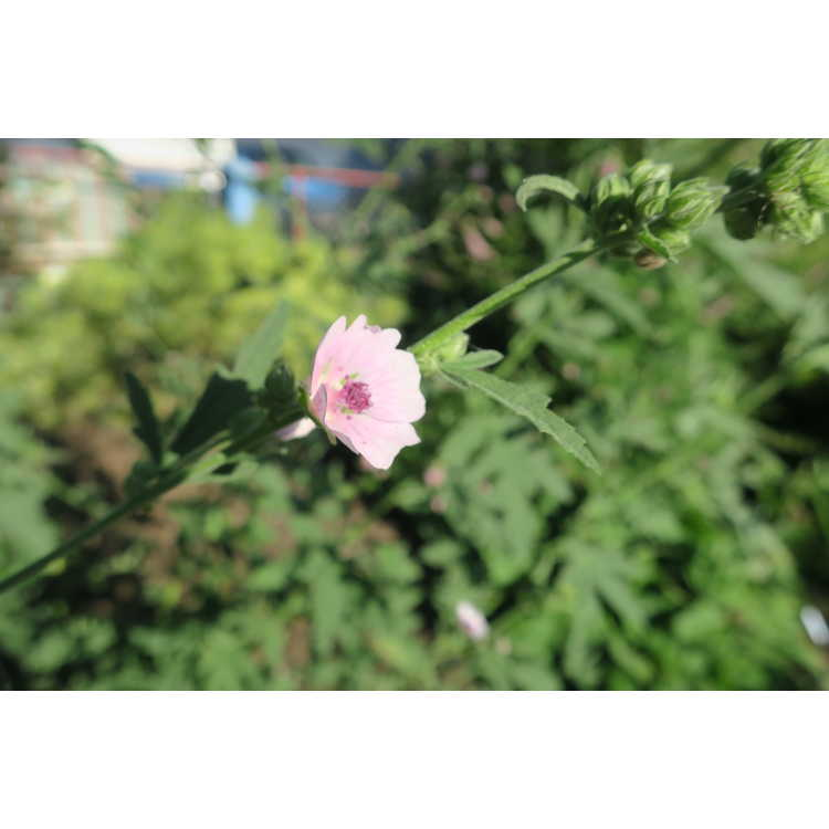Althaea broussonetiifolia - marsh mallow