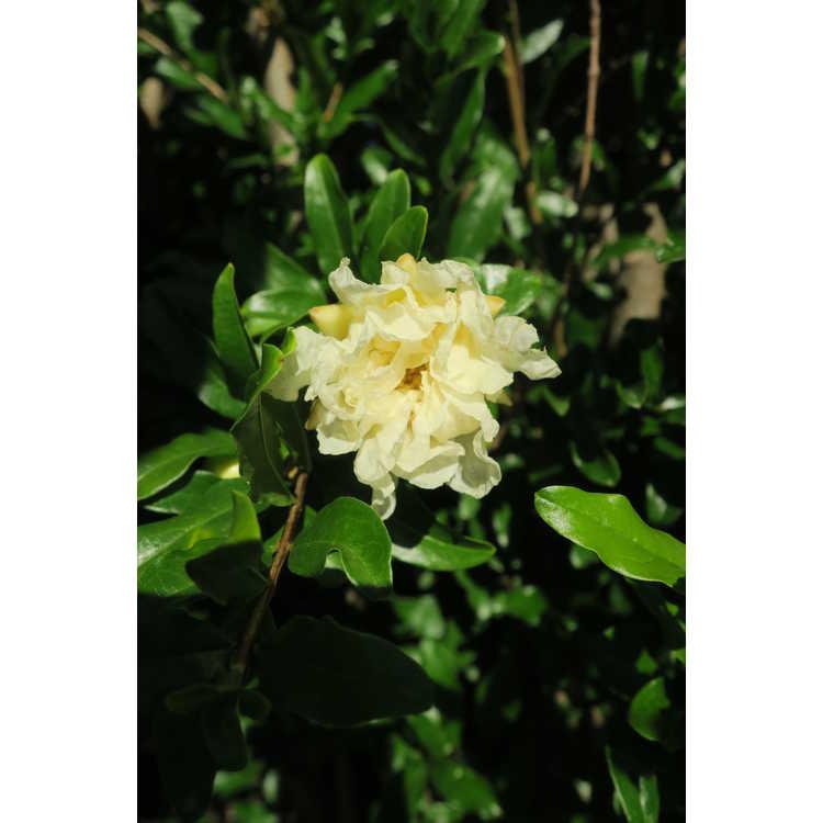 Punica granatum large, double white