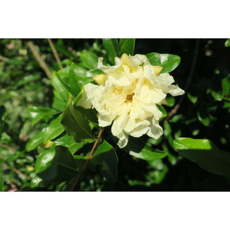 Punica granatum (large, double white)