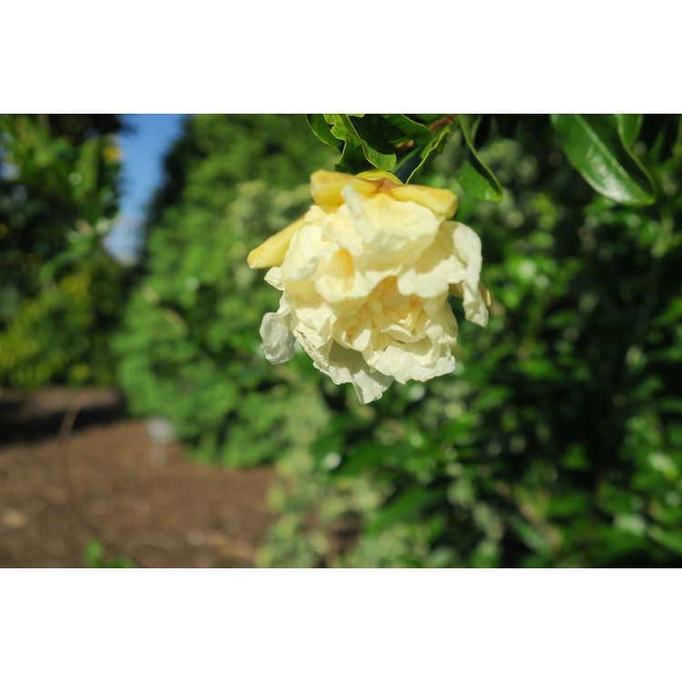 Punica granatum (large, double white) - pomegranate