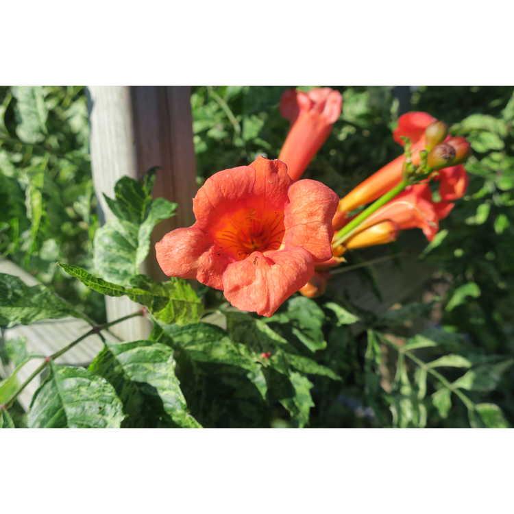 Campsis radicans 'Wako White' - trumpet vine