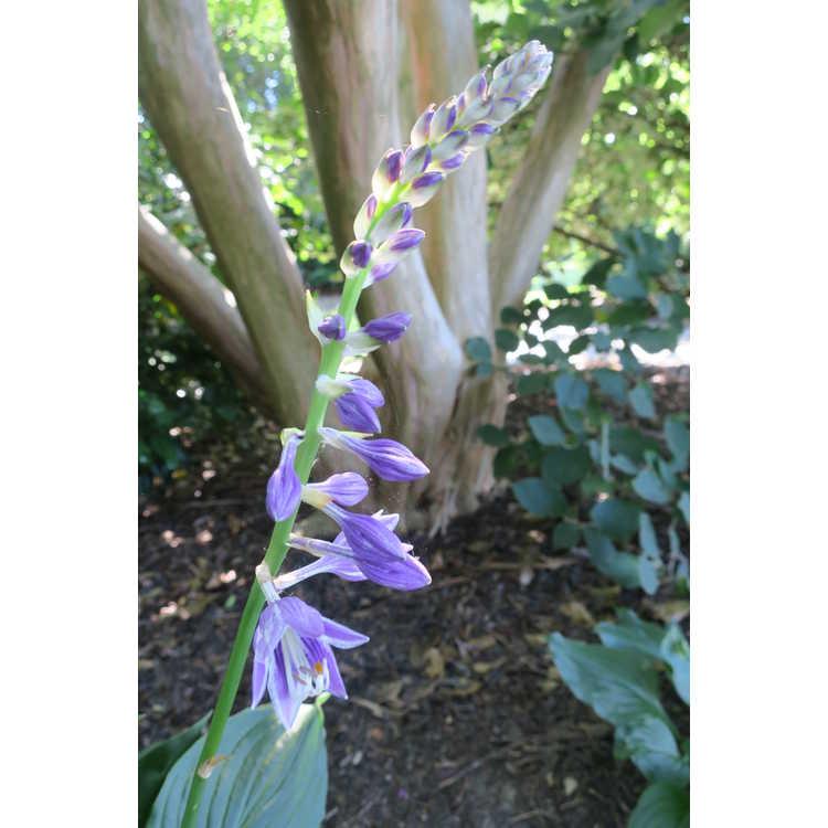 Hosta ventricosa - purple-flowered hosta