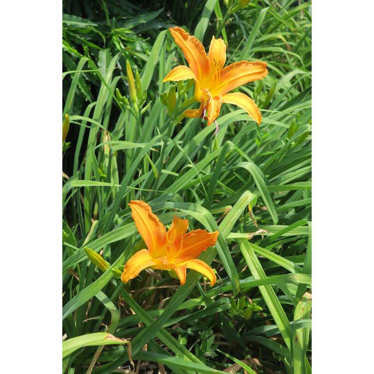 Hemerocallis Hortensia