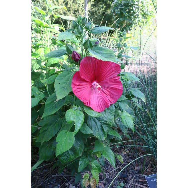 Hibiscus moscheutos Balhibred Luna Red
