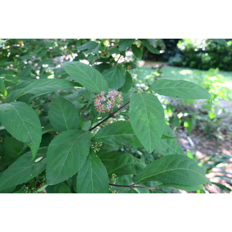 Callicarpa japonica - Japanese beautyberry