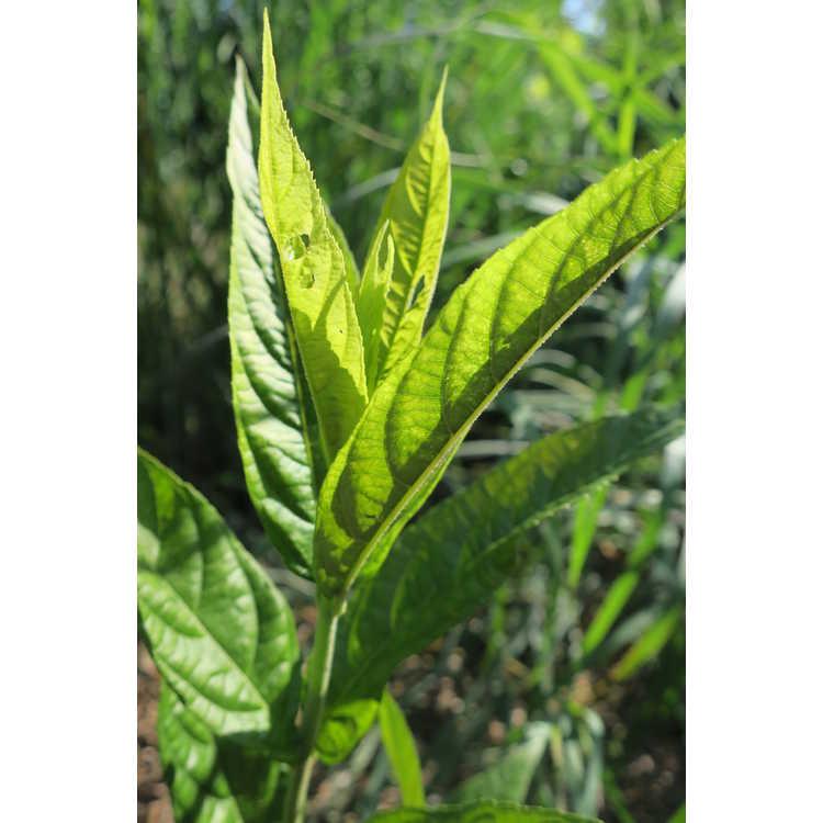 Callicarpa brevipes
