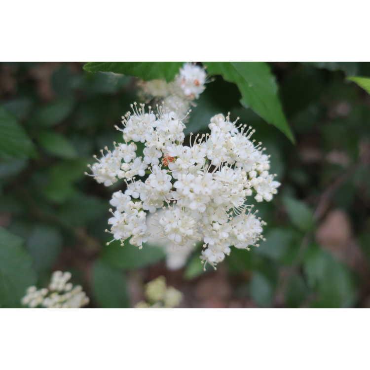 Viburnum dentatum 'Perle Bleu' - Southern arrowwood