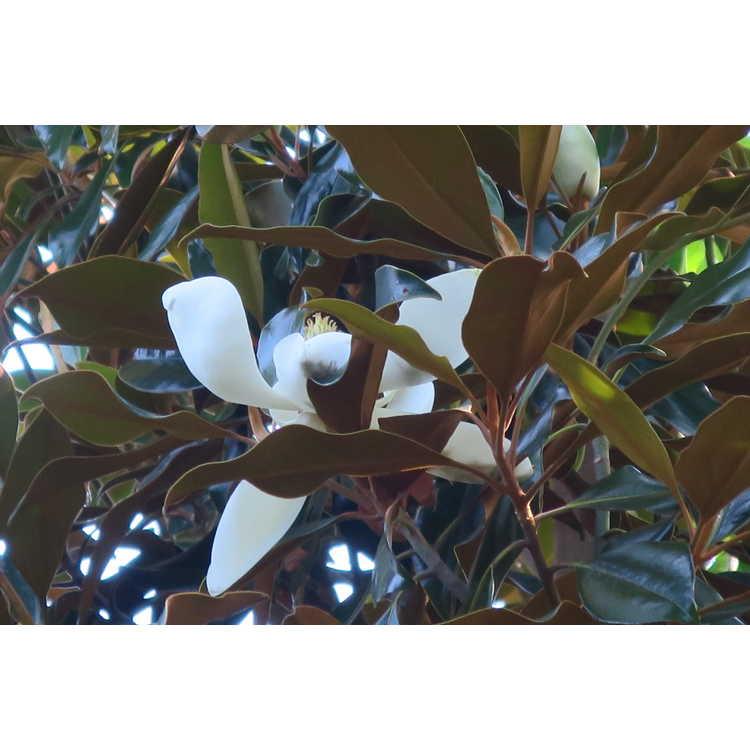 Magnolia grandiflora 'Kay Parris' - Southern magnolia
