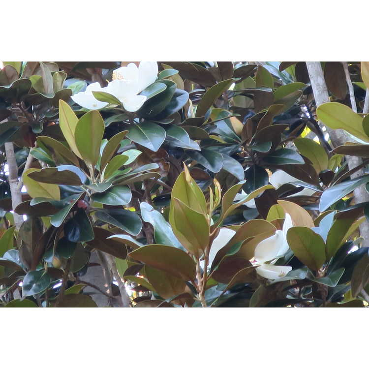 Magnolia grandiflora Hasse