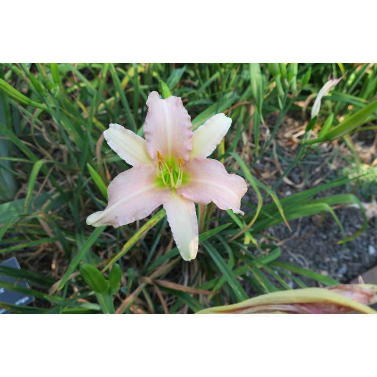 Hemerocallis 'Luxury Lace' - daylily