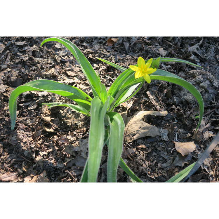 Hypoxis hemerocallidea - African star flower