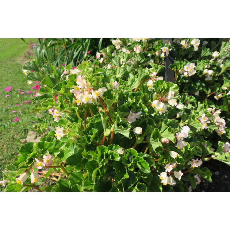 Begonia [Semperflorens-cultorum Group] 'Barbara Rogers'