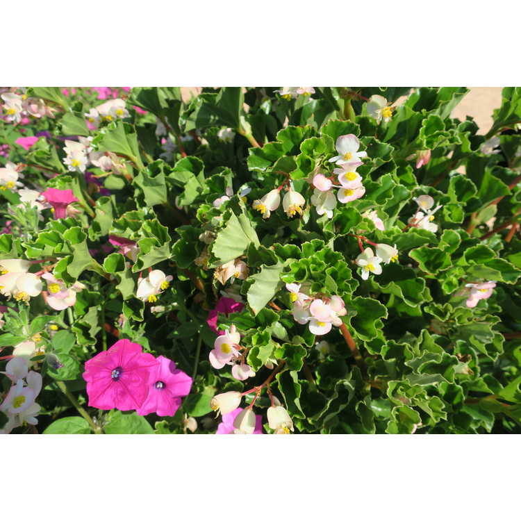 Begonia [Semperflorens-cultorum Group] 'Barbara Rogers' - hardy wax begonia