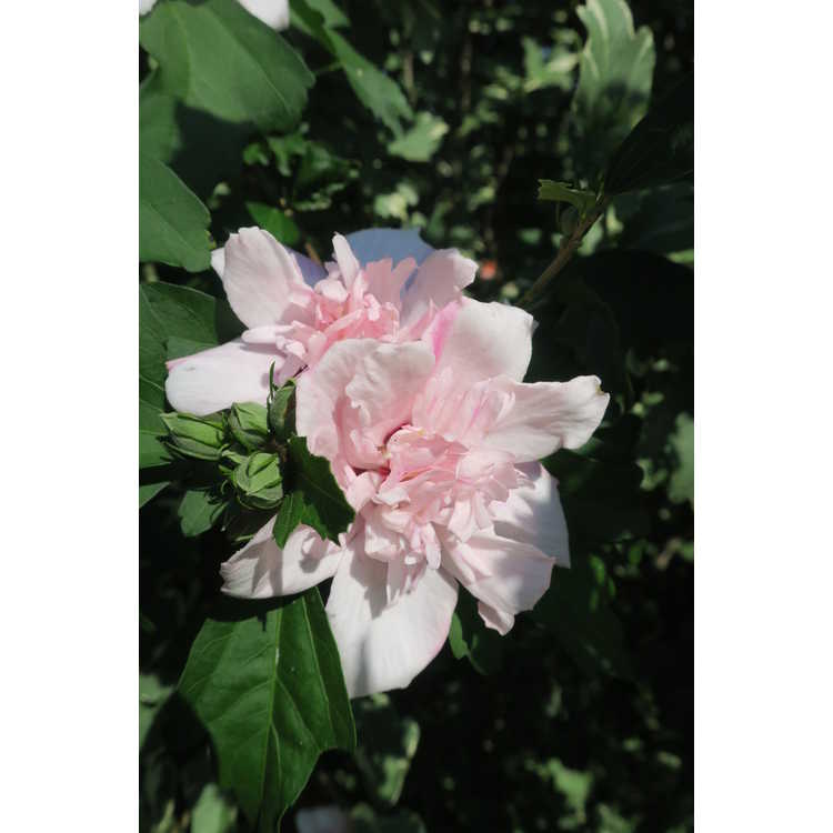 Hibiscus syriacus 'America Irene Scott' - Sugar Tip variegated rose-of-Sharon