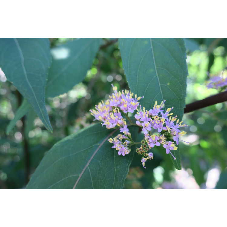 Callicarpa Purple Pearls