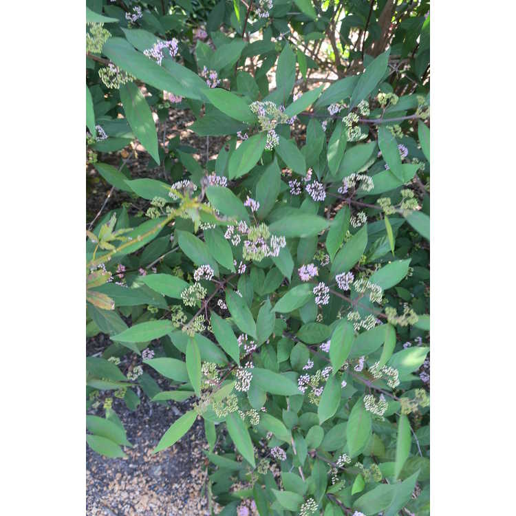 Callicarpa 'Purple Pearls'