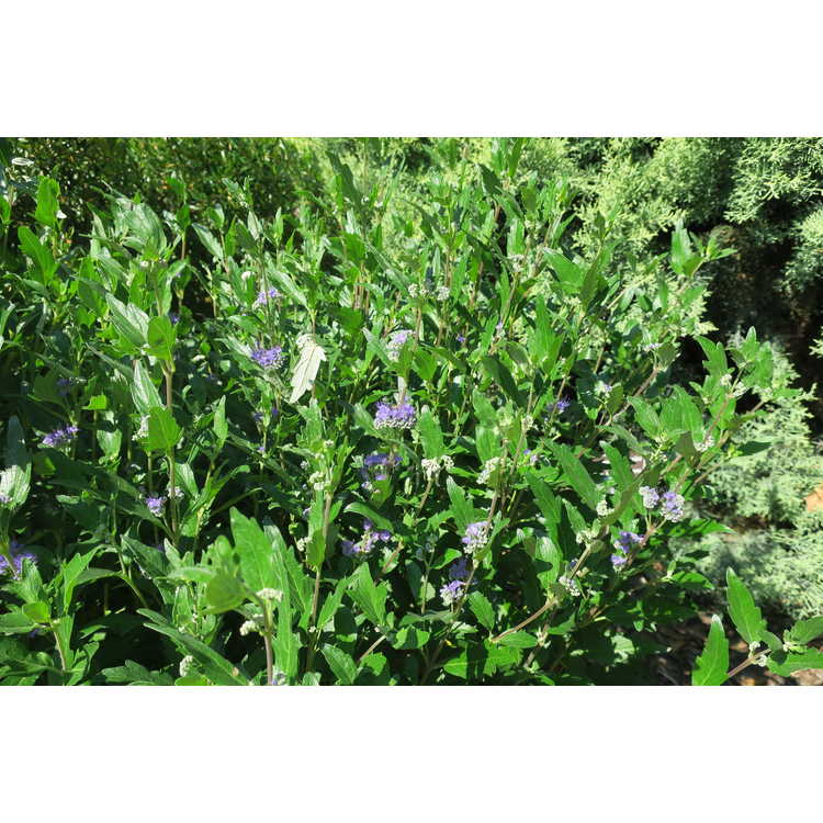 Caryopteris ×clandonensis 'Inoveris' - Grand Bleu bluebeard