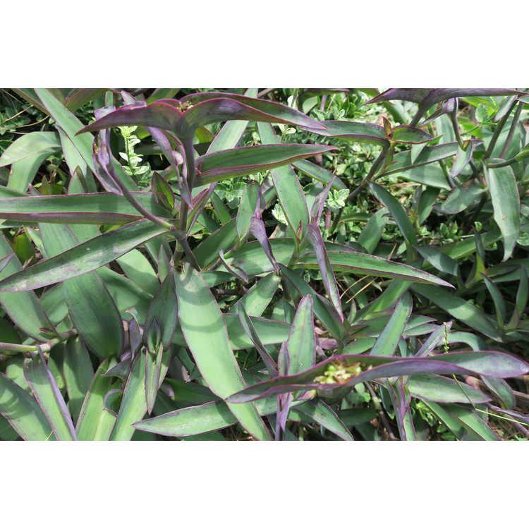 Tradescantia 'Ocampo White' - silver-leaf tradescantia