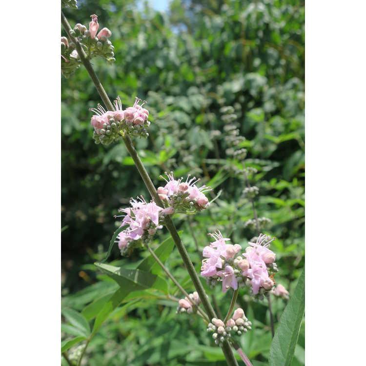 Vitex agnus-castus 'Salinas Pink' - pink chaste tree