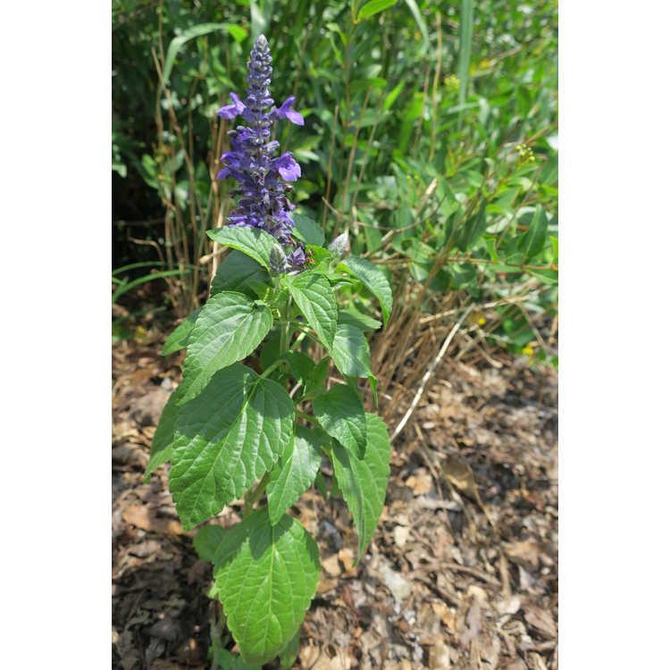 Salvia 'Bbsal09001'