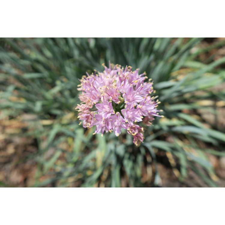Allium senescens Glauca