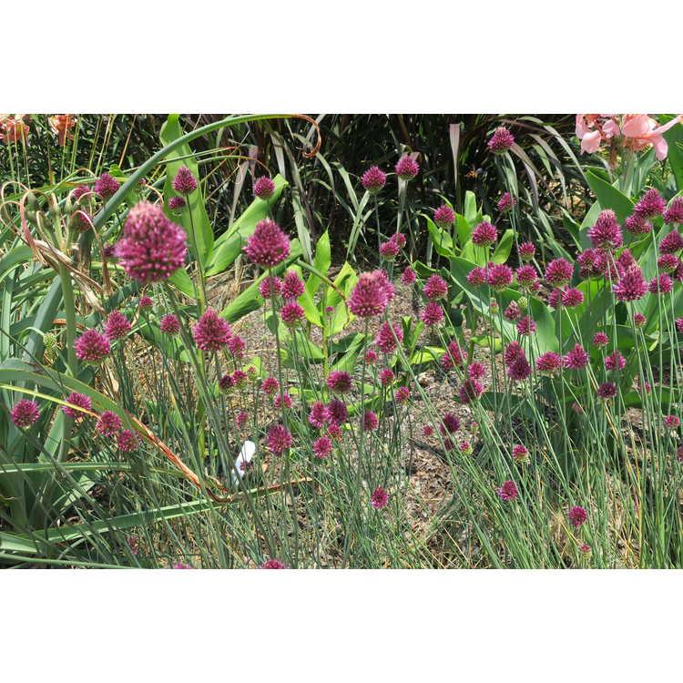Allium sphaerocephalon - drumstick leek