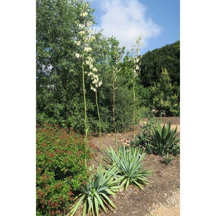 Yucca cernua - nodding Texas yucca