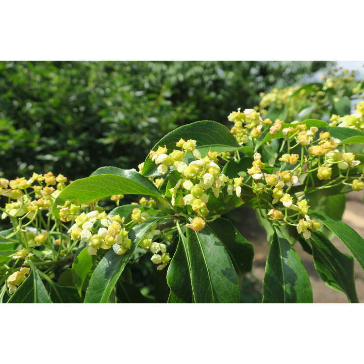 Euonymus nitidus - Chinese spindletree