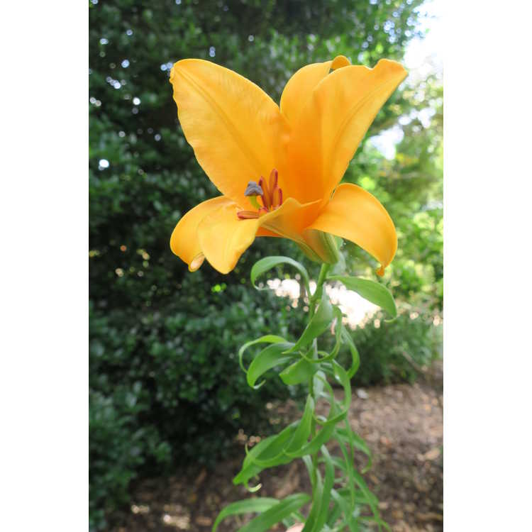 Lilium 'African Queen' - hybrid lily