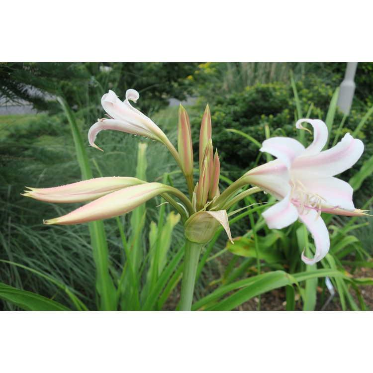 Crinum ×herbertii (pink keal)