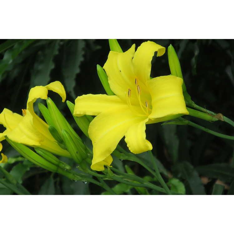 Hemerocallis 'Renee' - daylily