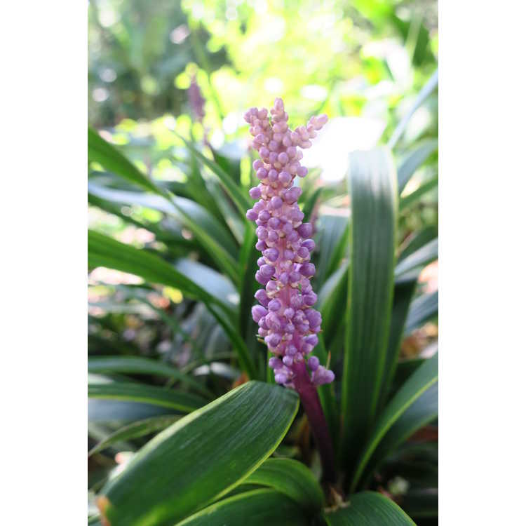 Liriope muscari 'Gold Band'